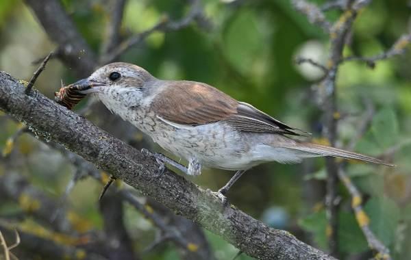 Жулан-птица-Описание-особенности-виды-образ-жизни-и-среда-обитания-жулана-13