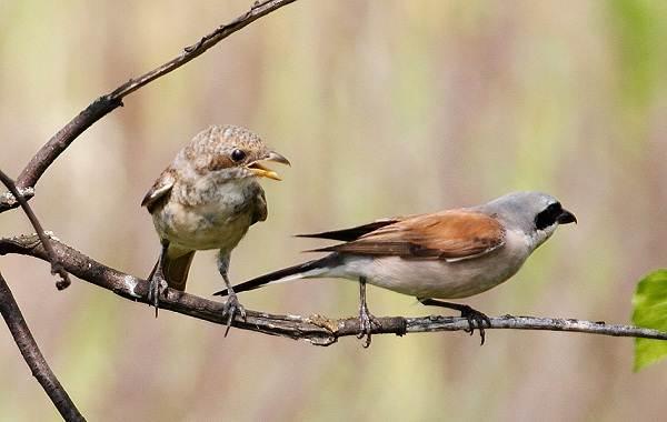 Жулан-птица-Описание-особенности-виды-образ-жизни-и-среда-обитания-жулана-14