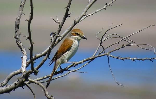 Жулан-птица-Описание-особенности-виды-образ-жизни-и-среда-обитания-жулана-16