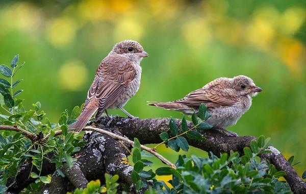 Жулан-птица-Описание-особенности-виды-образ-жизни-и-среда-обитания-жулана-17