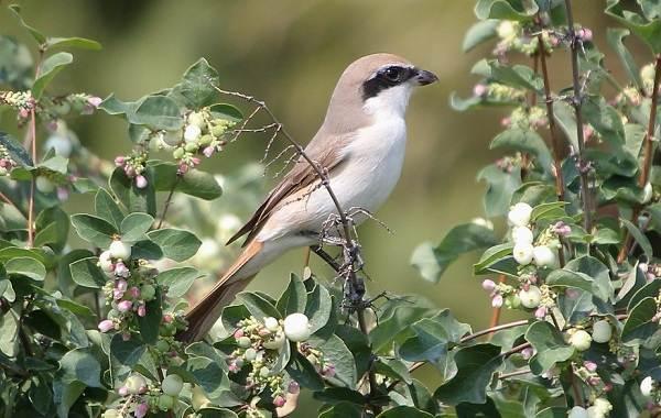 Жулан-птица-Описание-особенности-виды-образ-жизни-и-среда-обитания-жулана-19