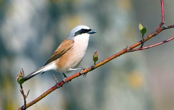 Жулан-птица-Описание-особенности-виды-образ-жизни-и-среда-обитания-жулана-20