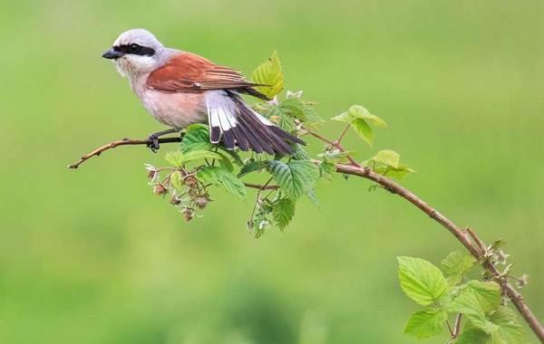 Жулан-птица-Описание-особенности-виды-образ-жизни-и-среда-обитания-жулана-21