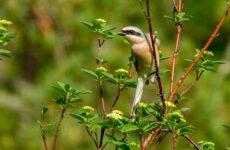 Жулан птица. Описание, особенности, виды, образ жизни и среда обитания жулана
