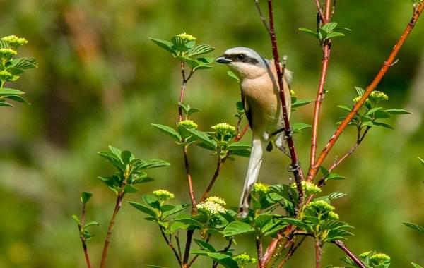 Жулан-птица-Описание-особенности-виды-образ-жизни-и-среда-обитания-жулана-22