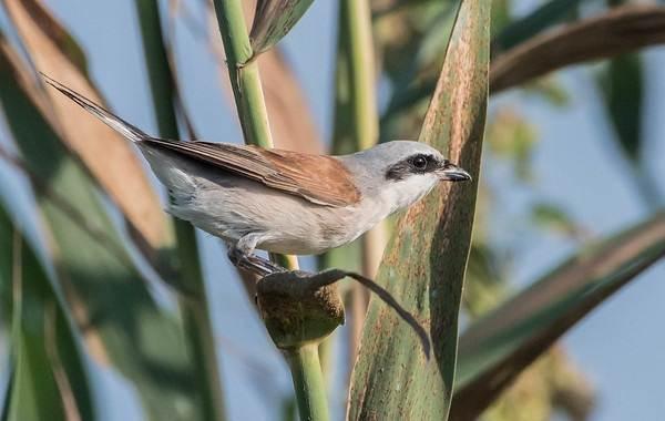 Жулан-птица-Описание-особенности-виды-образ-жизни-и-среда-обитания-жулана-23
