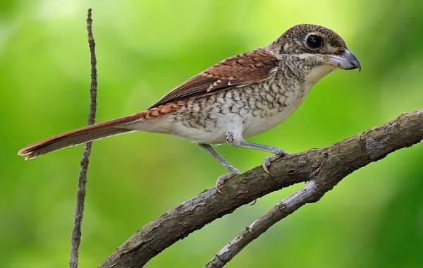 Жулан-птица-Описание-особенности-виды-образ-жизни-и-среда-обитания-жулана-3