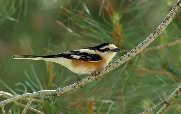 Жулан-птица-Описание-особенности-виды-образ-жизни-и-среда-обитания-жулана-4