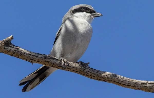 Жулан-птица-Описание-особенности-виды-образ-жизни-и-среда-обитания-жулана-5