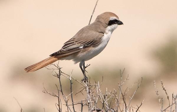 Жулан-птица-Описание-особенности-виды-образ-жизни-и-среда-обитания-жулана-6