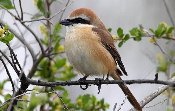 Жулан-птица-Описание-особенности-виды-образ-жизни-и-среда-обитания-жулана-7