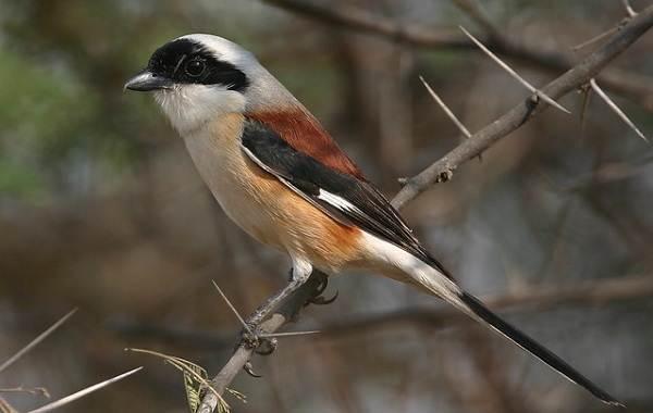 Жулан-птица-Описание-особенности-виды-образ-жизни-и-среда-обитания-жулана-8