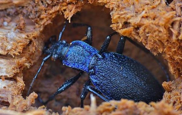 Жужелица-насекомое-Описание-особенности-виды-образ-жизни-и-среда-обитания-жужелицы-15