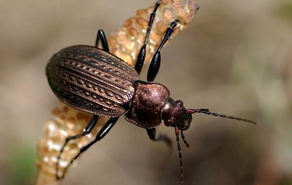 Жужелица-насекомое-Описание-особенности-виды-образ-жизни-и-среда-обитания-жужелицы-3