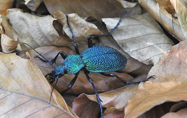 Жужелица-насекомое-Описание-особенности-виды-образ-жизни-и-среда-обитания-жужелицы-5