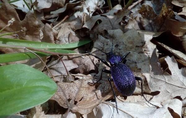 Жужелица-насекомое-Описание-особенности-виды-образ-жизни-и-среда-обитания-жужелицы-6