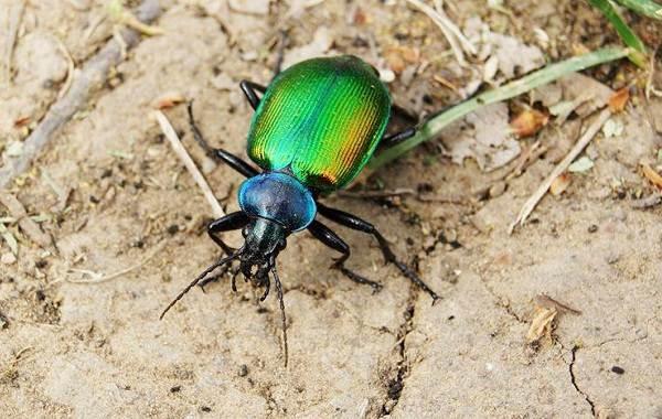Жужелица-насекомое-Описание-особенности-виды-образ-жизни-и-среда-обитания-жужелицы-7