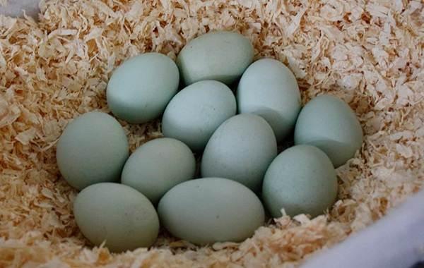 Араукана-порода-кур-Описание-особенности-виды-уход-и-содержание-птицы-10
