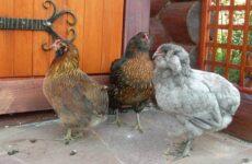 Араукана порода кур. Описание, особенности, виды, уход и содержание птицы