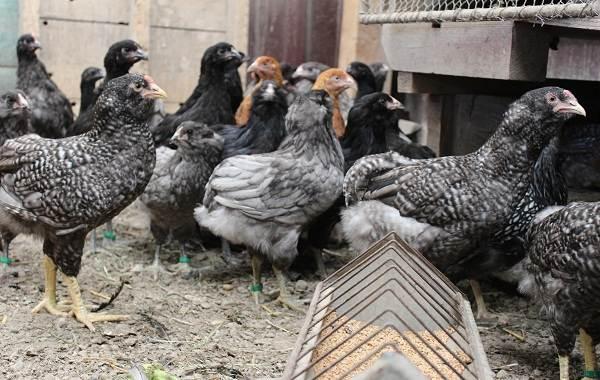 Араукана-порода-кур-Описание-особенности-виды-уход-и-содержание-птицы-13