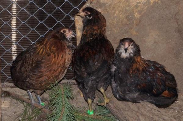 Араукана-порода-кур-Описание-особенности-виды-уход-и-содержание-птицы-15