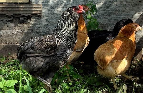 Араукана-порода-кур-Описание-особенности-виды-уход-и-содержание-птицы-4