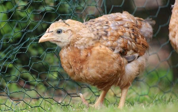 Араукана-порода-кур-Описание-особенности-виды-уход-и-содержание-птицы-7