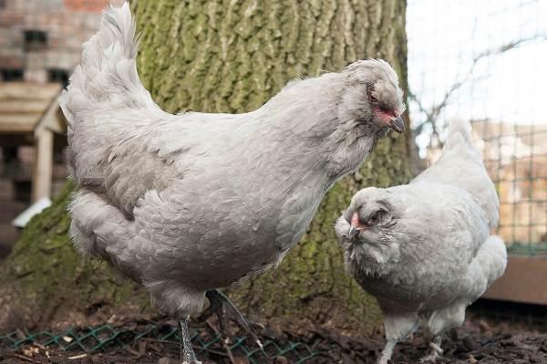 Араукана-порода-кур-Описание-особенности-виды-уход-и-содержание-птицы-8