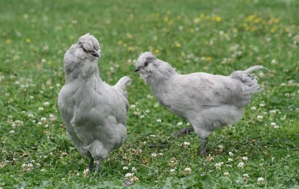 Араукана-порода-кур-Описание-особенности-виды-уход-и-содержание-птицы-9