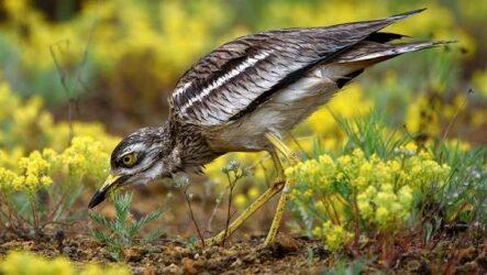 Авдотка птица. Описание, особенности, виды, образ жизни и среда обитания авдотки