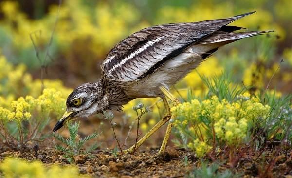 Авдотка-птица-Описание-особенности-виды-образ-жизни-и-среда-обитания-авдотки-1