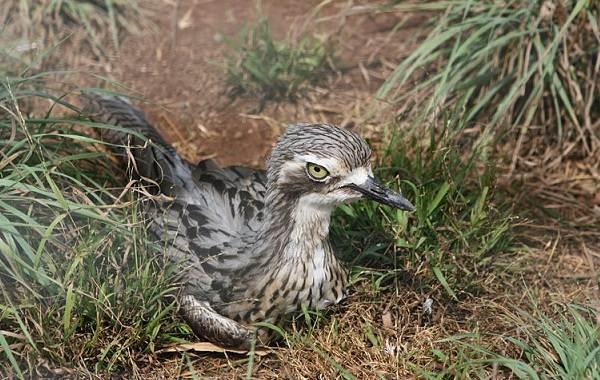 Авдотка-птица-Описание-особенности-виды-образ-жизни-и-среда-обитания-авдотки-11