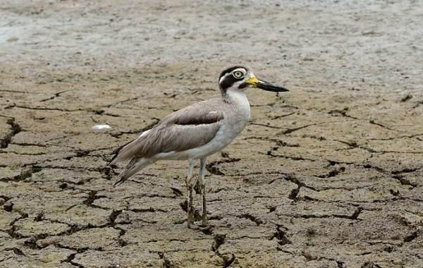 Авдотка-птица-Описание-особенности-виды-образ-жизни-и-среда-обитания-авдотки-12