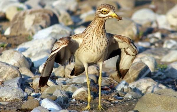 Авдотка-птица-Описание-особенности-виды-образ-жизни-и-среда-обитания-авдотки-14