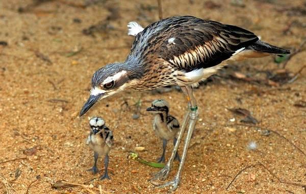 Авдотка-птица-Описание-особенности-виды-образ-жизни-и-среда-обитания-авдотки-15