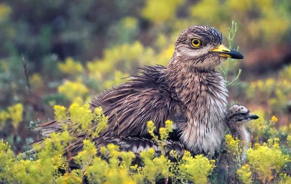 Авдотка-птица-Описание-особенности-виды-образ-жизни-и-среда-обитания-авдотки-16