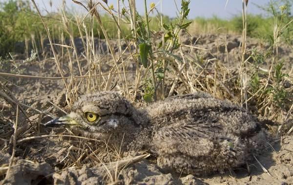 Авдотка-птица-Описание-особенности-виды-образ-жизни-и-среда-обитания-авдотки-17