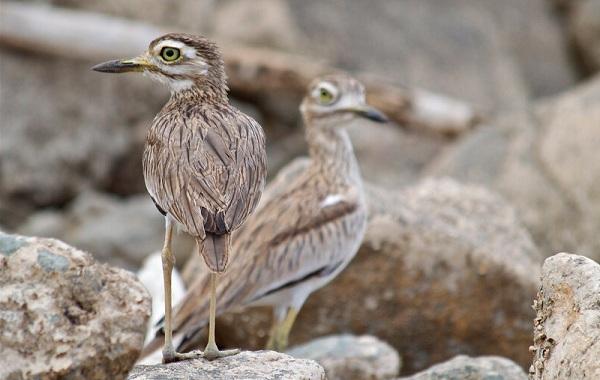 Авдотка-птица-Описание-особенности-виды-образ-жизни-и-среда-обитания-авдотки-18
