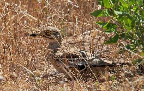 Авдотка-птица-Описание-особенности-виды-образ-жизни-и-среда-обитания-авдотки-2