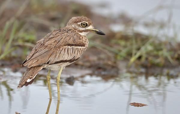 Авдотка-птица-Описание-особенности-виды-образ-жизни-и-среда-обитания-авдотки-5
