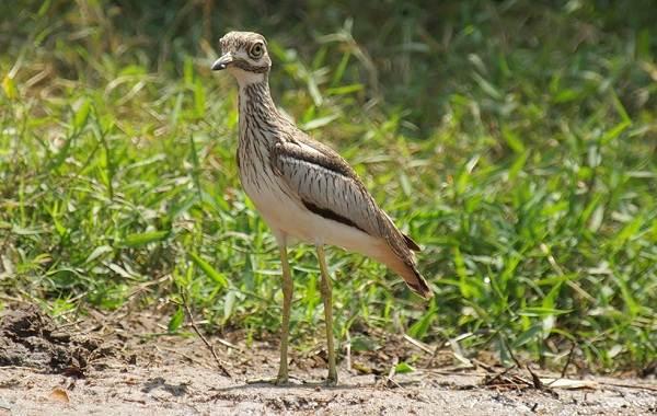 Авдотка-птица-Описание-особенности-виды-образ-жизни-и-среда-обитания-авдотки-6