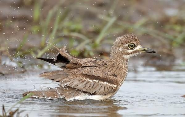 Авдотка-птица-Описание-особенности-виды-образ-жизни-и-среда-обитания-авдотки-7