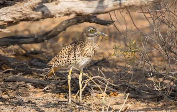 Авдотка-птица-Описание-особенности-виды-образ-жизни-и-среда-обитания-авдотки-8