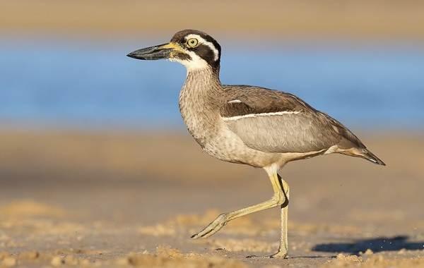 Авдотка-птица-Описание-особенности-виды-образ-жизни-и-среда-обитания-авдотки-9