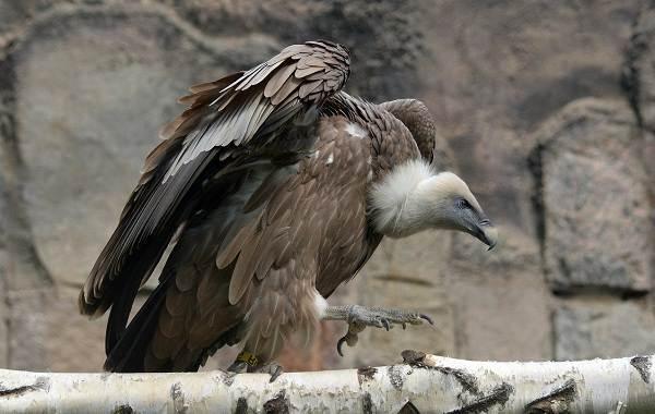 Белоголовый-сип-птица-Описание-особенности-виды-образ-жизни-и-среда-обитания-сипа-1