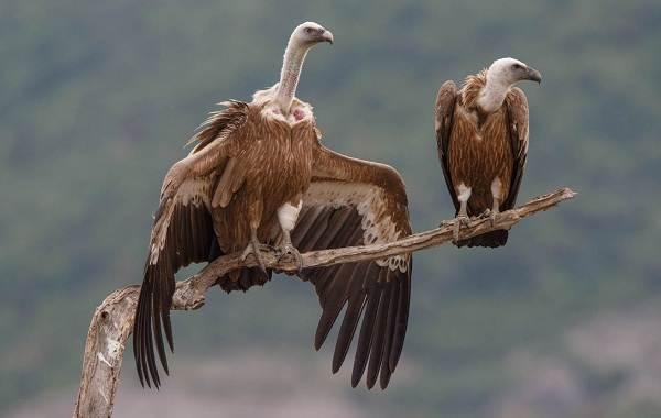 Белоголовый-сип-птица-Описание-особенности-виды-образ-жизни-и-среда-обитания-сипа-10