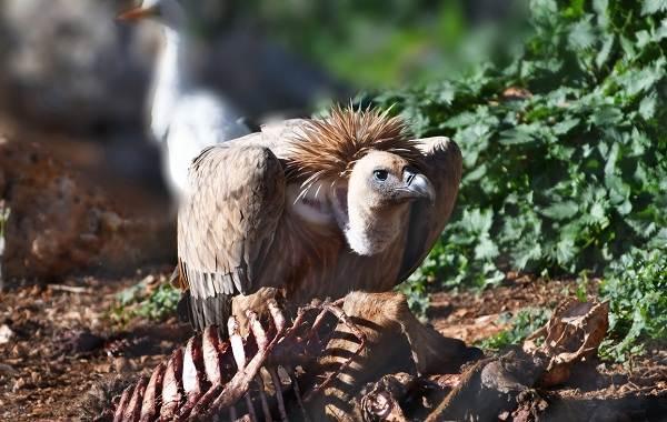 Белоголовый-сип-птица-Описание-особенности-виды-образ-жизни-и-среда-обитания-сипа-11