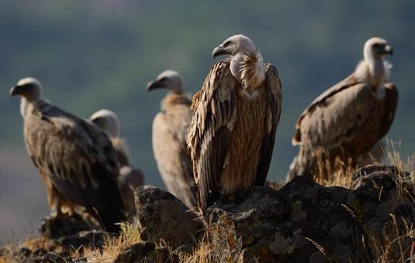 Белоголовый-сип-птица-Описание-особенности-виды-образ-жизни-и-среда-обитания-сипа-13