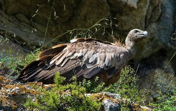 Белоголовый-сип-птица-Описание-особенности-виды-образ-жизни-и-среда-обитания-сипа-14