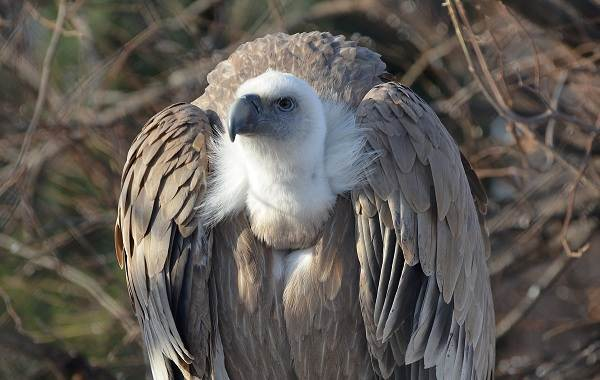 Белоголовый-сип-птица-Описание-особенности-виды-образ-жизни-и-среда-обитания-сипа-2